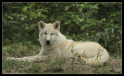Twinkling wolf by Mutabi