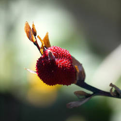 Canna Lily iii by GeorgieDeeArt