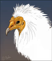 Egyptian Vulture by Reptangle