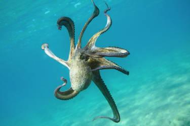Octopus Vulgaris by serdarsuer