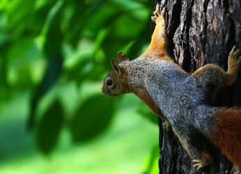 Squirrel by serdarsuer