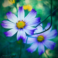 royal blue. by magnesina
