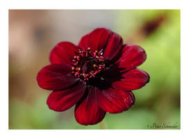 Cosmos atrosanguineus by Phototubby