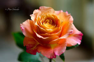 Beauty with thorns. by Phototubby