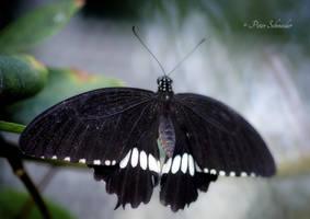 Dark wings. by Phototubby