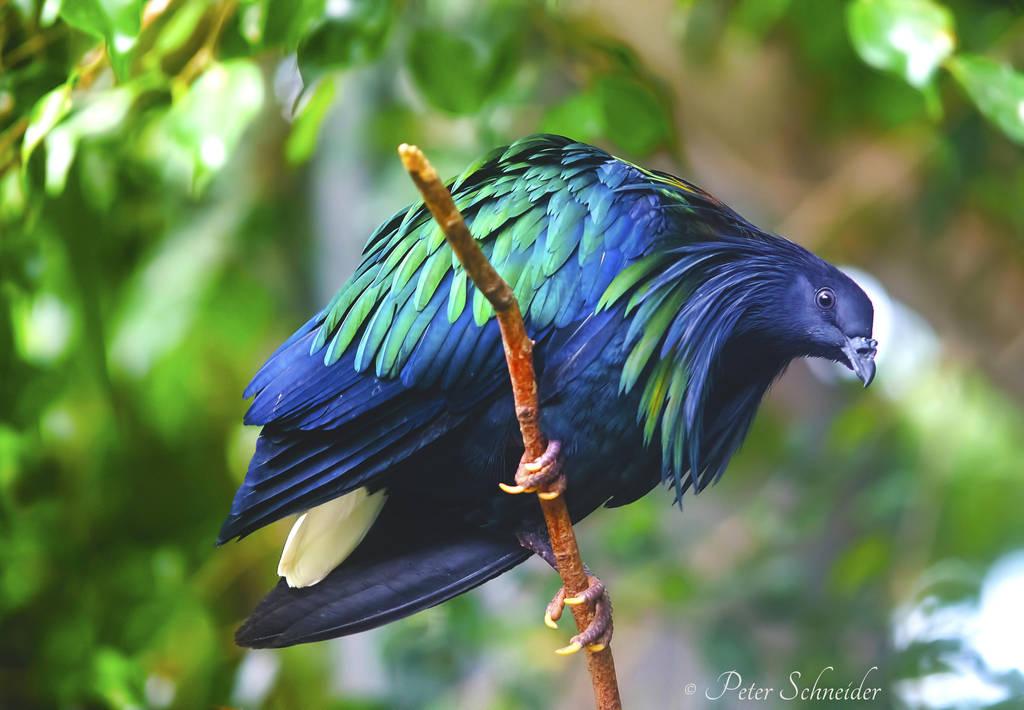 Pigeon (II). by Phototubby