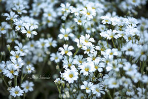 White spring wishes by Phototubby