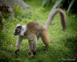 Eulemur macaco (II). by Phototubby
