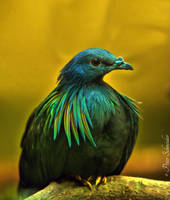 With the rainbow in her plumage. by Phototubby
