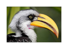 Hornbill Profile by OpticaLLightspeed