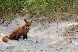 Fox by Ch1pp