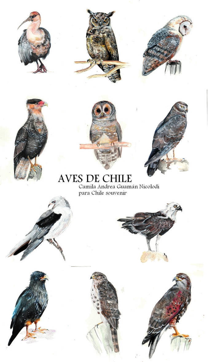 Aves de chile II by chinchillacosmica