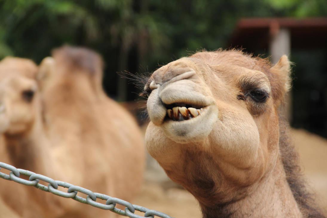 DERP CAMEL by BilbyPDalgyte