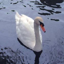 Swan by BethanyH
