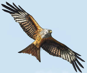 Red Kite by muttoz