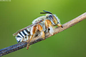 Solitary Bee by erezmarom
