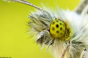 Orange tip, green gaze by erezmarom