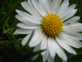 daisy by hanzap
