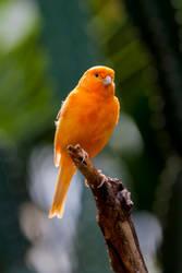 Canary II by davidst123