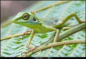 Green Crested Lizard - II by alokethebloke