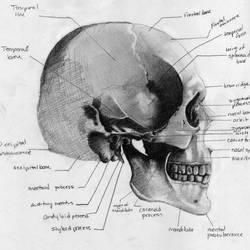 Skull by SerenityDisrupt