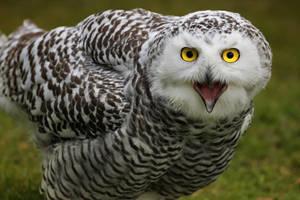 snowy owl by deoroller