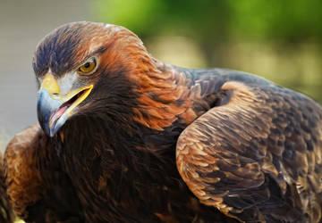 eagle_VI by deoroller