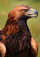 portrait of an eagle_III by deoroller