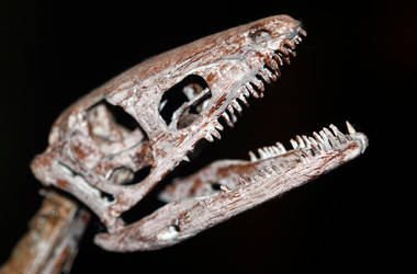 Young Coelophysis by Mountaineer47