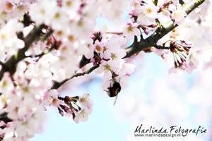 Cherry Blossom by Marliinda