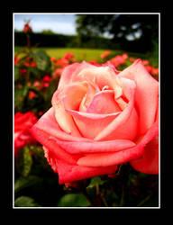 Rose 4 by K-Lara