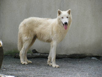 White Arctic Wolf by plutoplus1