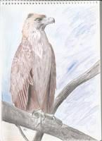 Haast's Eagle (Hieraaetus moorei) by PhanerozoicWild