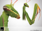 Praying Mantis by VisionHaus