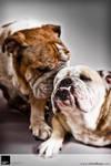 Bulldogs 3 :: Vision Haus by VisionHaus