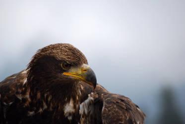 Eagle Eye by LewiJ