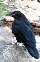 Raven 1 by Stickfishies-Stock