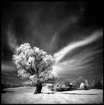 old tree by vvolfmann