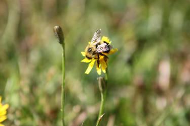 Bumblebee by Lunarmoonlight