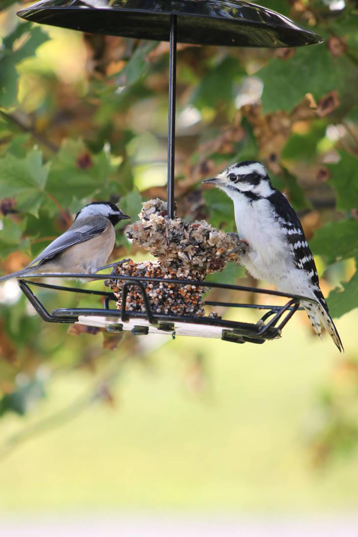 Black Headed Chickadee and Downy Woodpecker by Lunarmoonlight