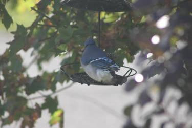 Blue Jay by Lunarmoonlight
