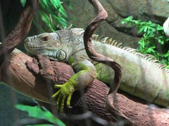 Iguana photo by twisted355