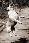 Jumping dog by NickSchiavulli