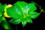 leaf by NickSchiavulli