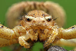 Crawling Spider  Xysticus sp. by RichardConstantinoff
