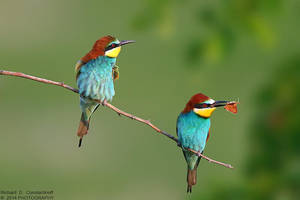Bee Eaters - Merops Apiaster by RichardConstantinoff