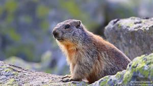 Marmota by RichardConstantinoff
