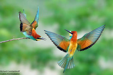 THE LIFE OF A BEE EATER by RichardConstantinoff
