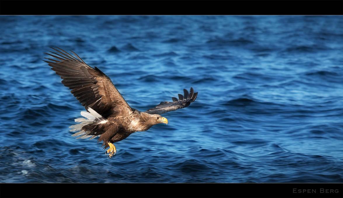 Sea Eagle by berg77