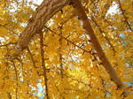 Branches of the Gingko by raggedjackal316